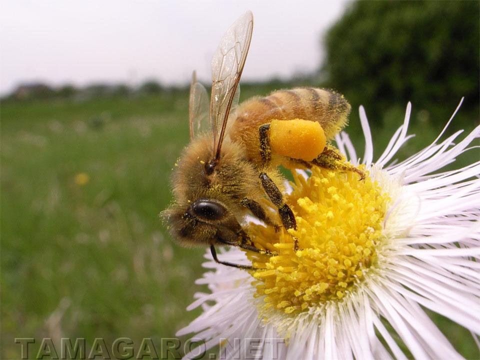ミツバチの画像 p1_8